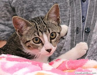Domestic Shorthair Kitten for adoption in Westchester, California - Kelly