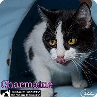 Adopt A Pet :: Charmaine - Fort Mill, SC