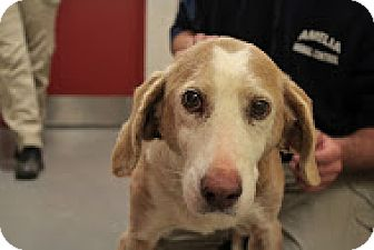Coonhound Dog for adoption in Charlottesville, Virginia - Sophie