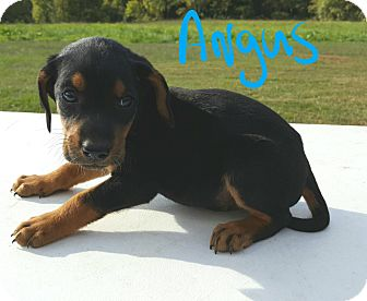Beagle Mix Puppy for adoption in Burlington, Vermont - Angus