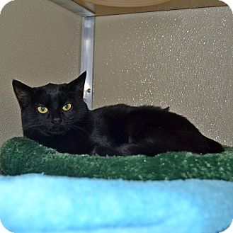 Domestic Shorthair Cat for adoption in Wheaton, Illinois - Dorothy