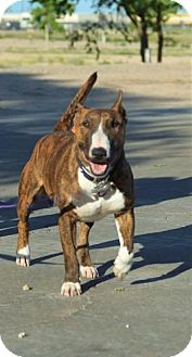 Bull Terrier Dog for adoption in Yoder, Colorado - Tokyo