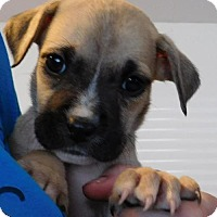 Boxer Mix Dog for adoption in Von Ormy, Texas - Laurel