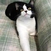 Domestic Shorthair Cat for adoption in Stuart, Virginia - Misfit
