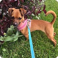 Adopt A Pet :: Cinnamon - Baltimore, MD