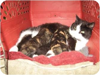 Domestic Shorthair Cat for adoption in Toronto, Ontario - Lilly