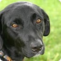 Labrador Retriever Mix Dog for adoption in Avon, New York - FOSTER HOMES NEEDED