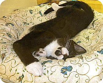 Domestic Shorthair Kitten for adoption in Miami, Florida - Pepper