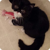 Adopt A Pet :: Ringo - Beverly Hills, CA