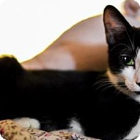 Adopt A Pet :: Ziggy (Tux) - Los Angeles, CA