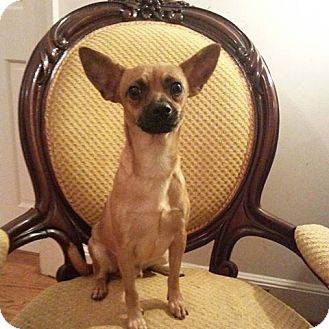 Chihuahua Mix Dog for adoption in Gaithersburg, Maryland - Rupert