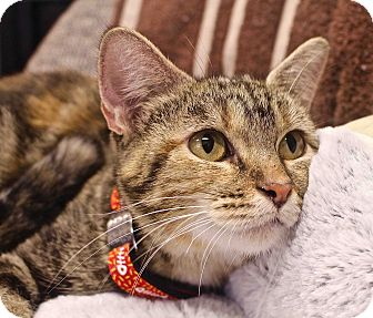 Domestic Shorthair Cat for adoption in Lansing, Kansas - Quincy