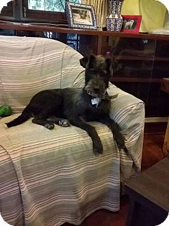 Airedale Terrier/Terrier (Unknown Type, Medium) Mix Dog for adoption in Agoura Hills, California - 'KELLY'