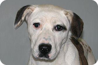 Beagle/Harrier Mix Puppy for adoption in Ruidoso, New Mexico - Camilla