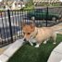Adopt A Pet :: PonYo - Lomita, CA