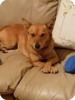 Terrier (Unknown Type, Small)/Dachshund Mix Dog for adoption in Fredericksburg, Virginia - Kitsune