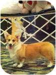 Corgi Dog for adoption in Inola, Oklahoma - Mia