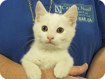 Domestic Shorthair Kitten for adoption in Diamond Bar, California - BELLA