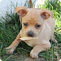 Adopt A Pet :: Baby Boomer - La Habra Heights, CA