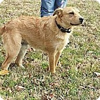 Finnish Spitz/Cattle Dog Mix Dog for adoption in Houston, Texas - Drama