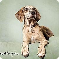 Adopt A Pet :: Mocha - Phoenix, AZ