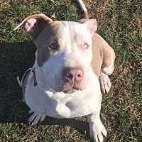 Pit Bull Terrier/Hound (Unknown Type) Mix Puppy for adoption in Bay Shore, New York - Sully