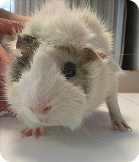 Guinea Pig for adoption in Golden, Colorado - Gus