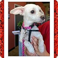 Adopt A Pet :: Pending!! Polly - S. TX - Tulsa, OK