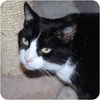 Domestic Shorthair Cat for adoption in Markham, Ontario - Boots