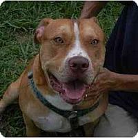 Terrier (Unknown Type, Medium)/American Bulldog Mix Dog for adoption in Orlando, Florida - Bubba