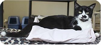 Domestic Shorthair Cat for adoption in Boca Raton, Florida - Frisco