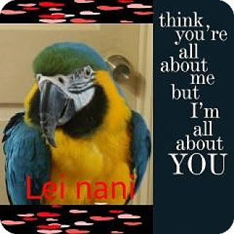 Macaw for adoption in Red Oak, Texas - Lei Nani