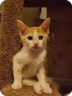Domestic Shorthair Kitten for adoption in Marietta, Georgia - Starburst