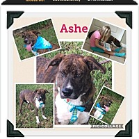 Adopt A Pet :: Ashe - hollywood, FL