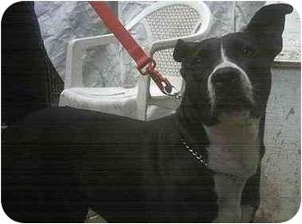 Siberian Husky Dog for adoption in Forest Hills, New York - Kody