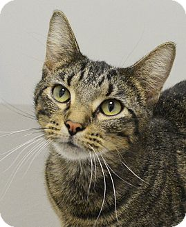 Domestic Shorthair Cat for adoption in Springfield, Illinois - Bella