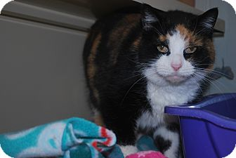Domestic Shorthair Cat for adoption in New Castle, Pennsylvania - Hilda