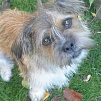 Terrier (Unknown Type, Small) Mix Dog for adoption in Denver, Colorado - Shaggy