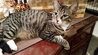 Domestic Shorthair Cat for adoption in Tampa, Florida - Jenson