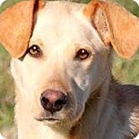 Adopt A Pet :: GOLDIE(SWEET--GENTLE-SO LOVING - Wakefield, RI