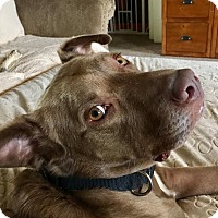 Labrador Retriever/Pit Bull Terrier Mix Dog for adoption in Union City, Tennessee - Walker