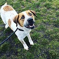 St. Bernard Mix Dog for adoption in Seattle, Washington - Rockey