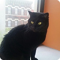 Bombay Cat for adoption in Edgewater, New Jersey - Nemo