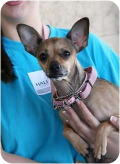 Chihuahua Mix Dog for adoption in Palmdale, California - Lola