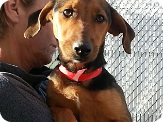 Beagle Mix Dog for adoption in West Hartford, Connecticut - Trooper- In CT