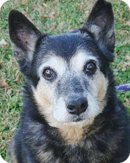 Australian Cattle Dog Dog for adoption in Red Bluff, California - Oscar