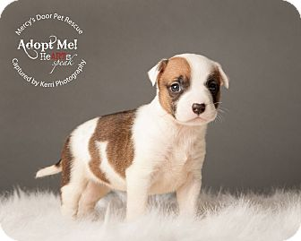 Bull Terrier/American Pit Bull Terrier Mix Puppy for adoption in Medina, Ohio - Violet