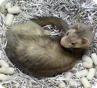 Ferret for adoption in Buxton, Maine - Frankie