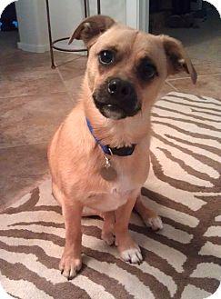 Pug/Beagle Mix Dog for adoption in Phoenix, Arizona - Max
