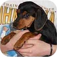 Adopt A Pet :: MinPin Beagle mix - Swiftwater, PA